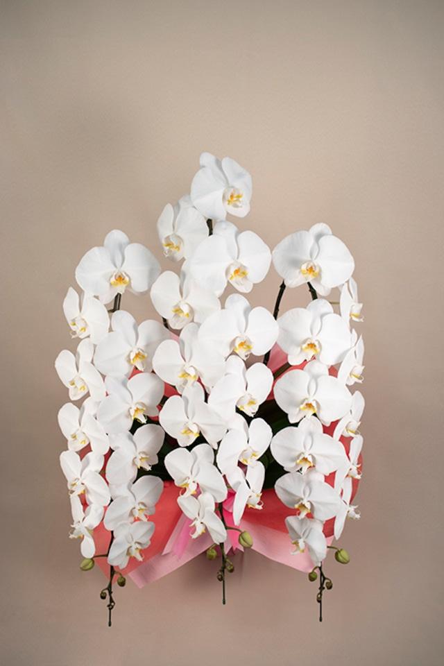 胡蝶蘭 白 3本立 LLサイズ