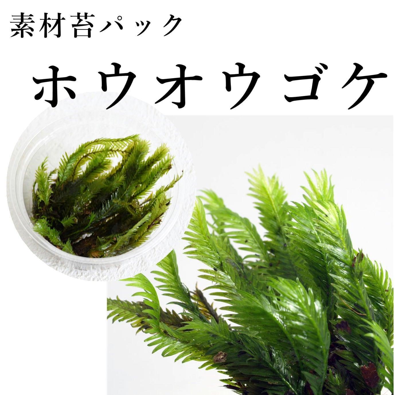 ホウオウゴケ 苔テラリウム作製用素材苔