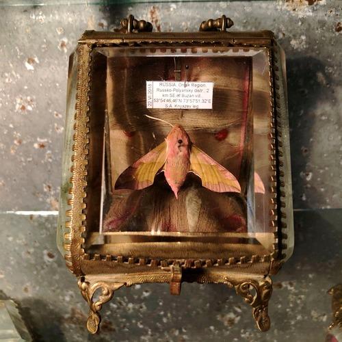 桃色の蛾の標本入りガラスケース