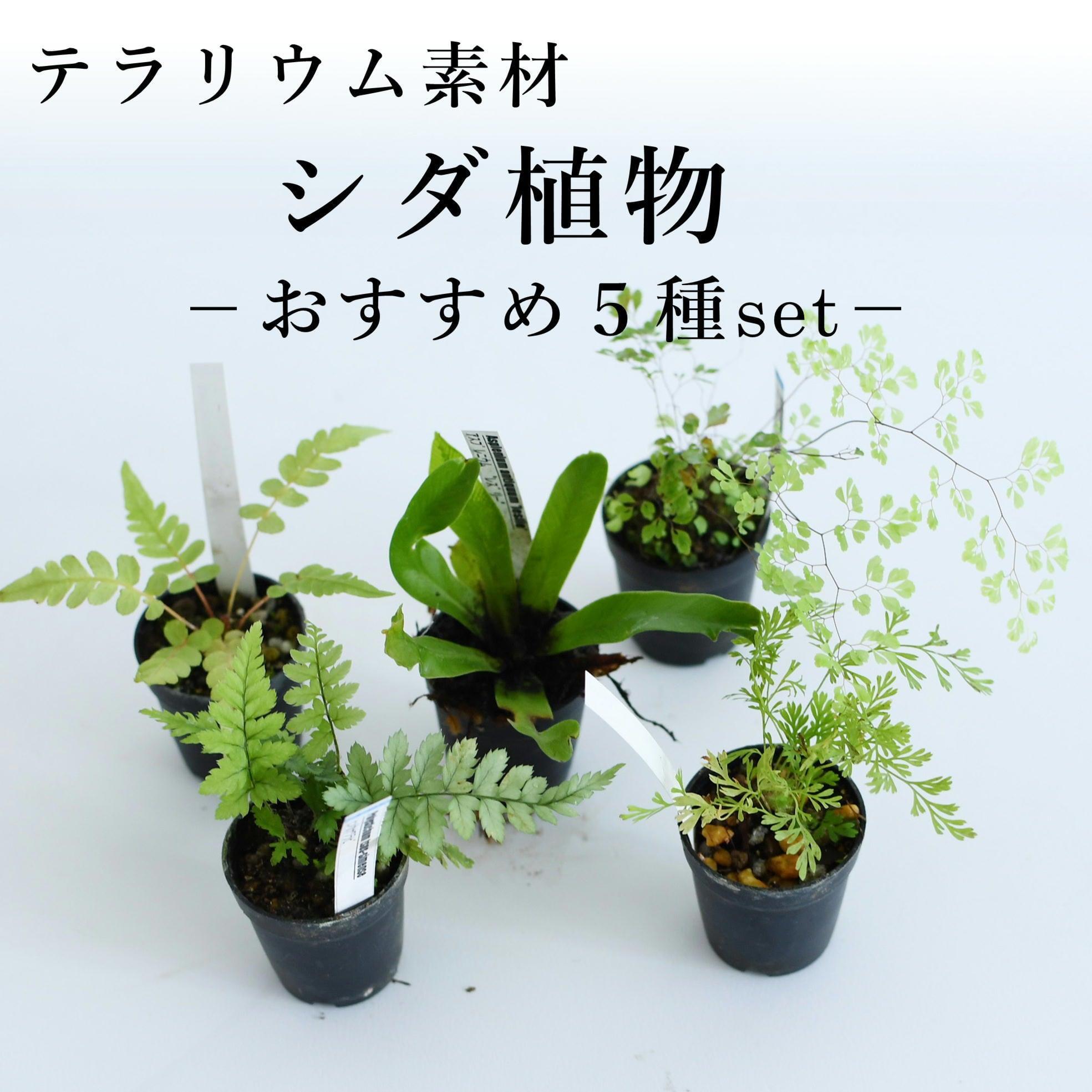 シダ植物おすすめ5種セット テラリウム作製用素材