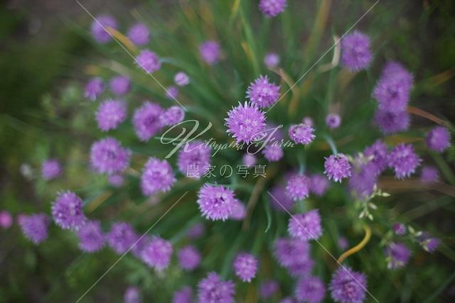 176 チャイブの花「食用花」