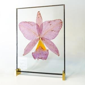 Cattleya カトレア