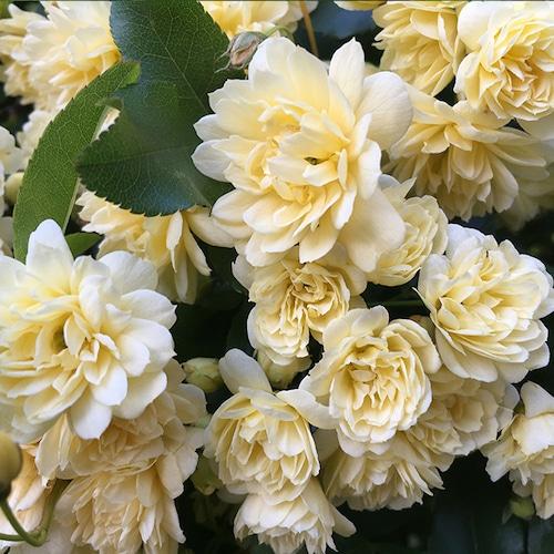 木香薔薇(もっこうばら)『純真』   和樂フラワーエッセンス
