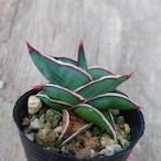 Sansevieria rorida サンスベリア ロリダ 5
