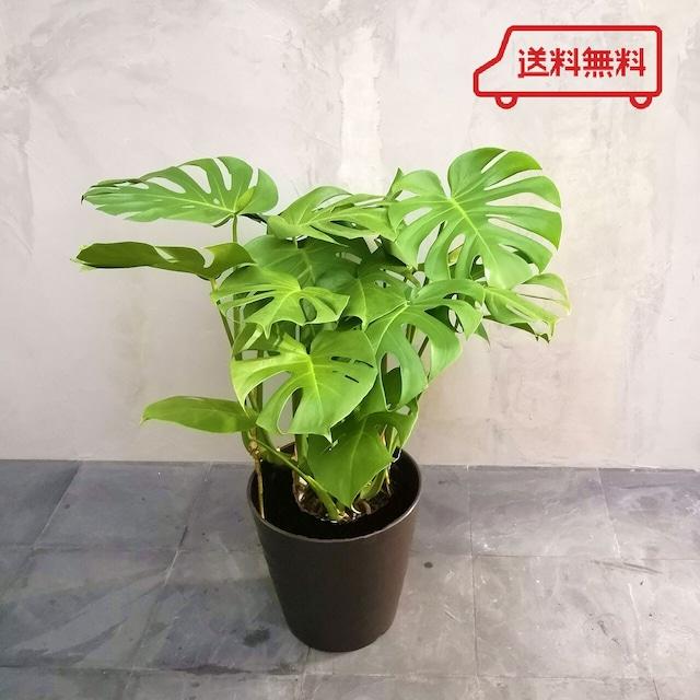 【送料無料】観葉植物 モンステラ  7号 フレグラーポット付き