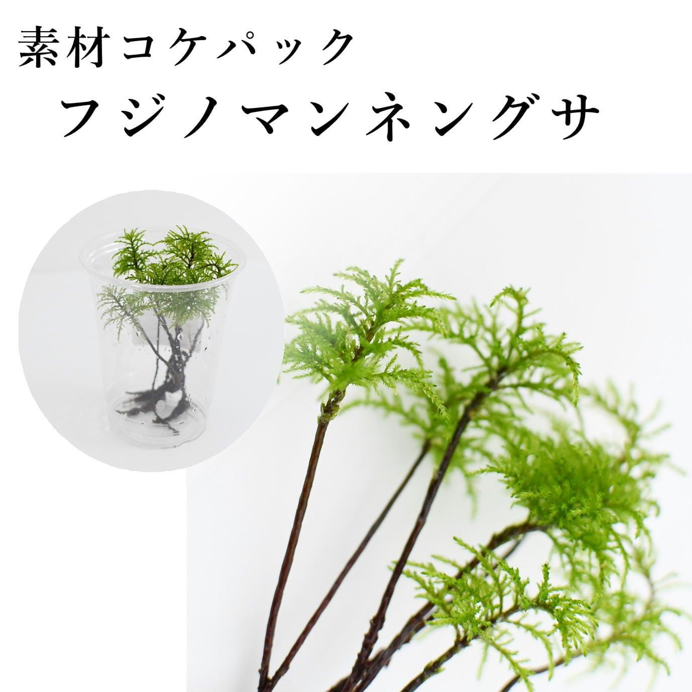 フジノマンネングサ 7芽入り 苔テラリウム作製用素材苔