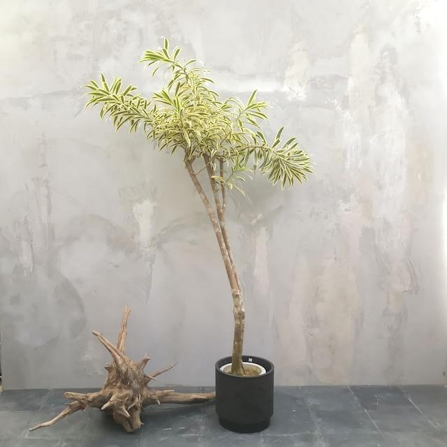 【現物一点物】観葉植物 ソングオブインディオ・中型・※配送近隣限定