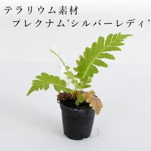 ブレクナム'シルバーレディ'(シダ植物) 苔テラリウム作製用素材