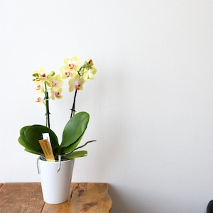 椎名洋蘭園 可愛いミニ胡蝶蘭 3寸 2本立ち