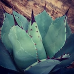 no.1 アガベ パリー トランカータ agave parryi truncata 【発根済】