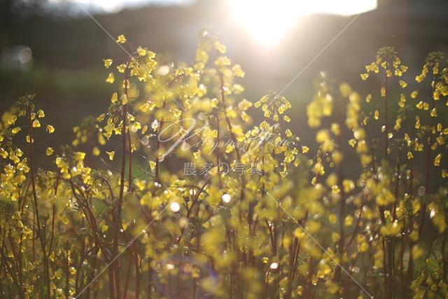163 紅菜苔の花 雨上がりの夕陽