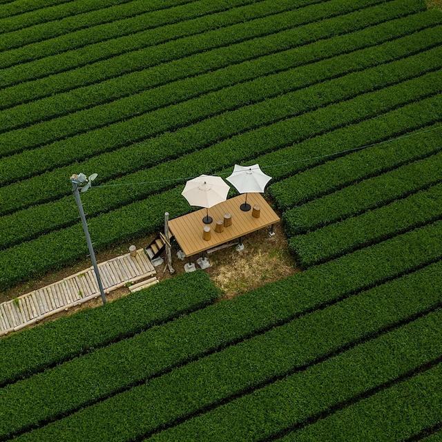 牧之原でお茶体験 Introducing green tea @Makinohara,Shizuoka