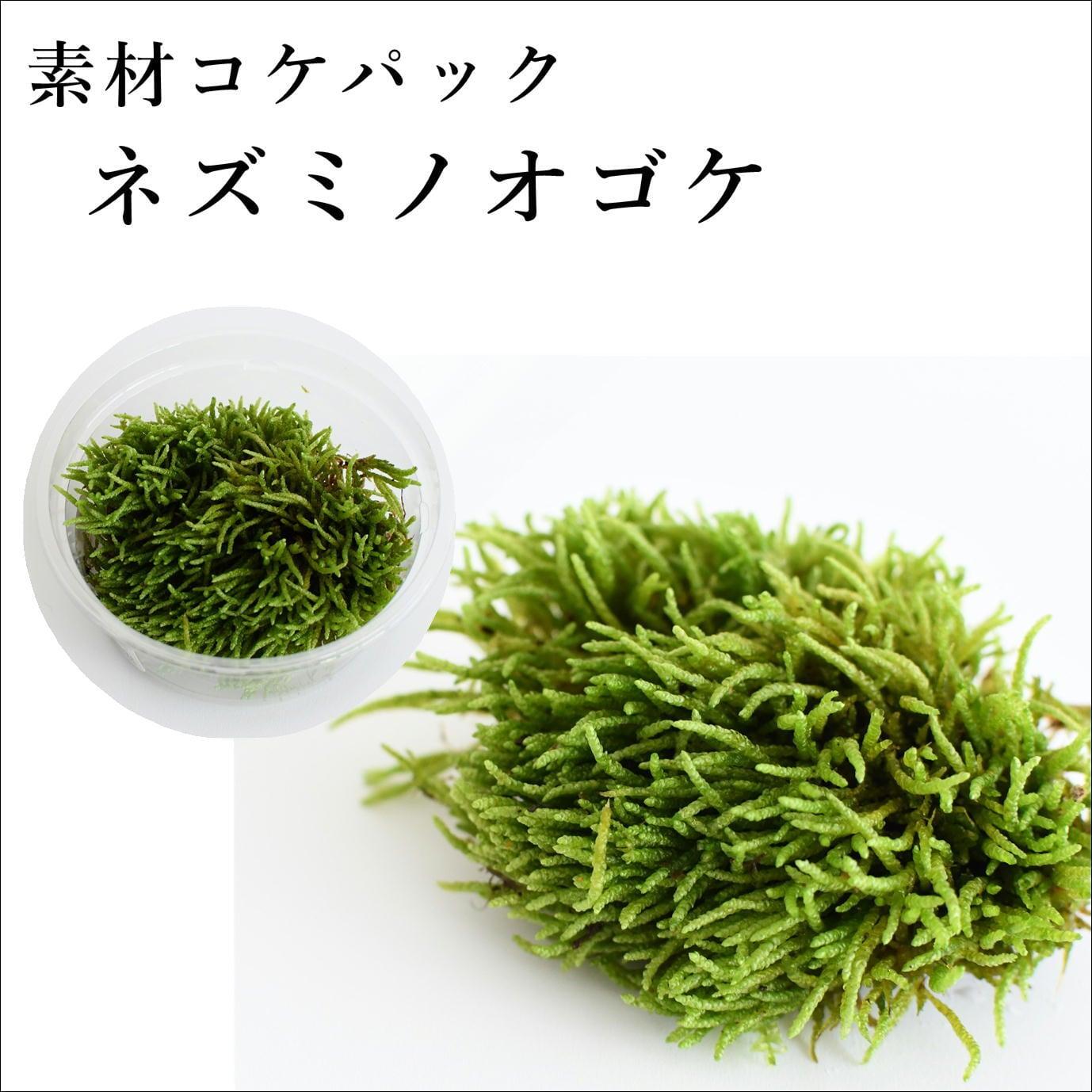 ネズミノオゴケ 苔テラリウム作製用素材苔