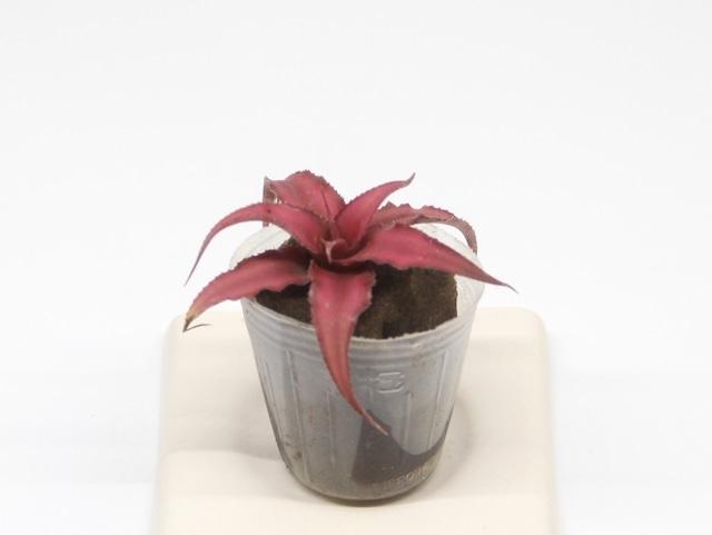 クリプタンサス《苔テラリウム・コケリウム用観葉植物》