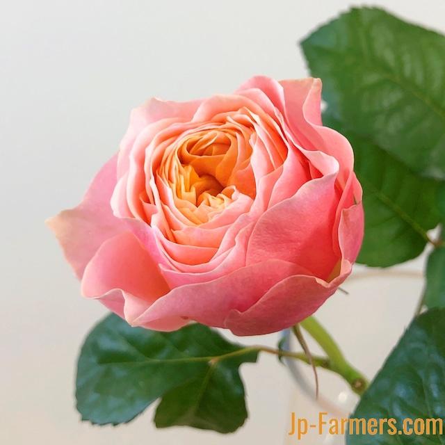 岡山県 大内ファームのバラ 『 コーラルハート 』10本