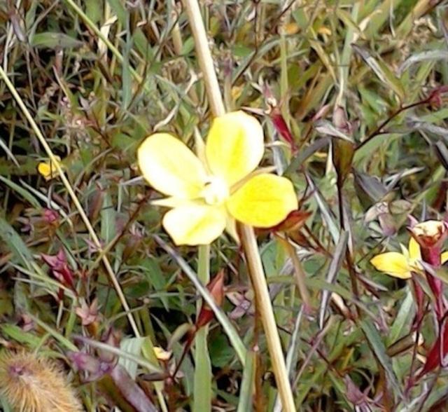 私のままで愛される♡4の花「ヒレタゴボウ」フラワーエッセンス