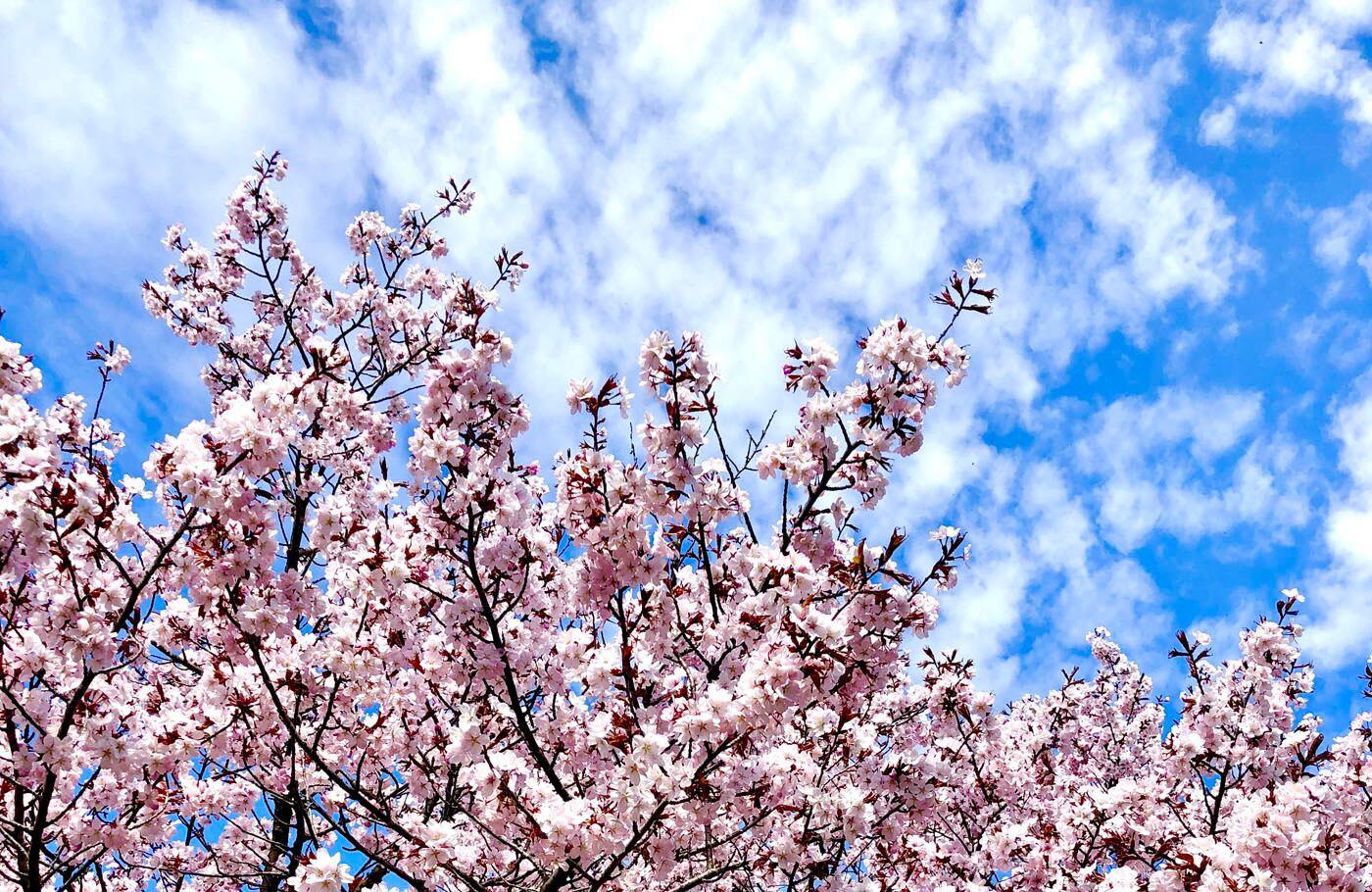 Photo Cherry blossom and sky