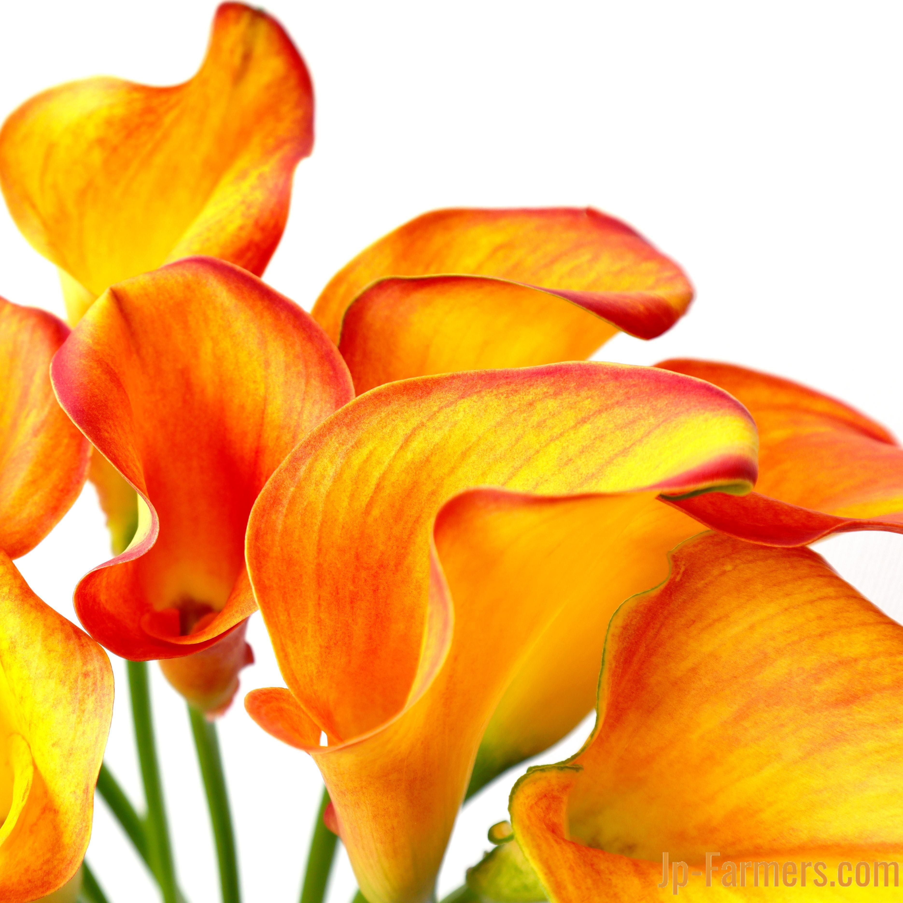 フラワースピリット カラーオレンジ 20本 のご紹介。