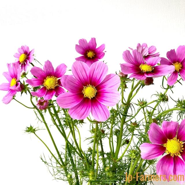 季節限定!秋の花はやっぱり秋桜(コスモス)! ベルサイユ 20本