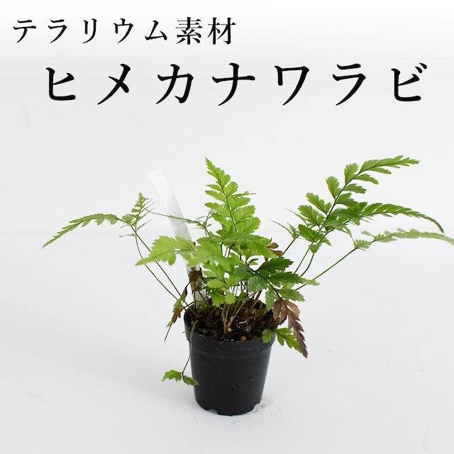 ヒメカナワラビ(シダ植物) 苔テラリウム作製用素材