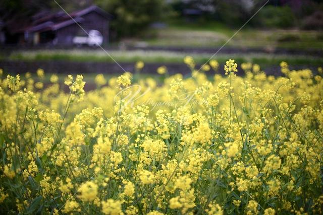 112 菜の花