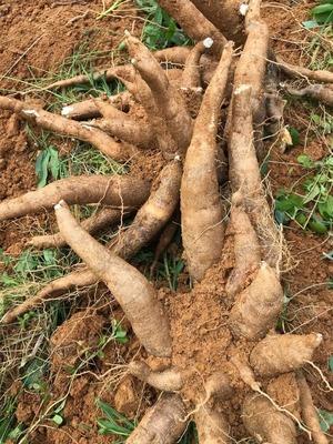 Sắn - Cassava (1kg)