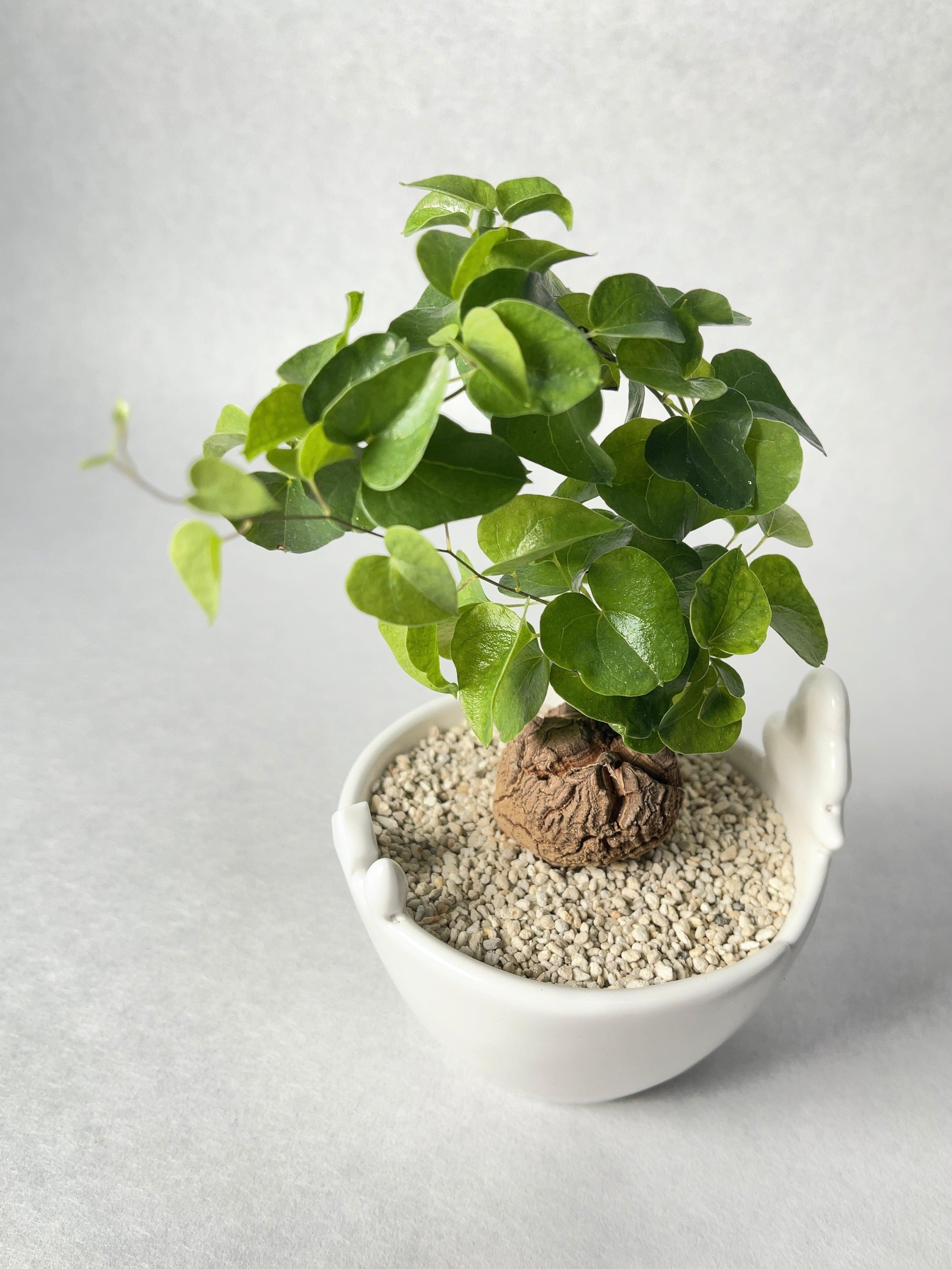 ディオスコレア・亀甲竜