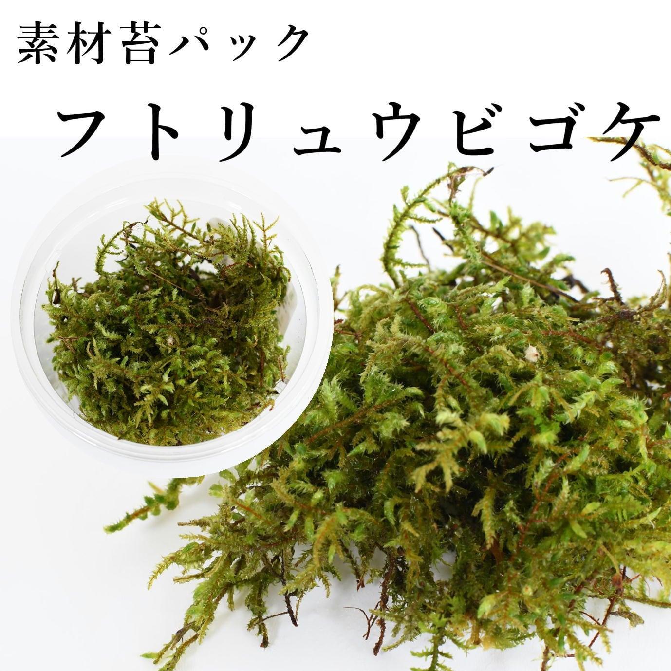 フトリュウビゴケ 苔テラリウム作製用素材苔