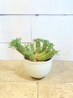 ソテツキリン(陶器鉢入り)※5号鉢サイズ