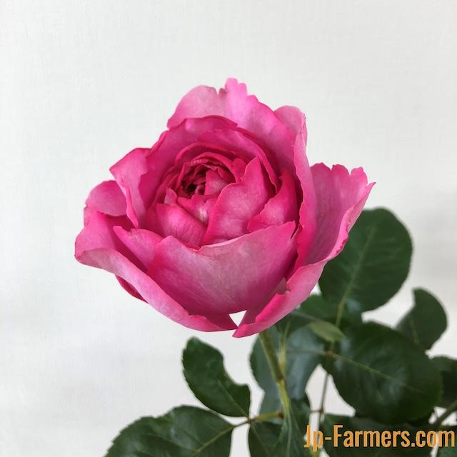 ※市場直送便!京果園 10本★バラ品種名:イブピアジェ ダマスクの芳香が魅力のローズピンク大輪品種。
