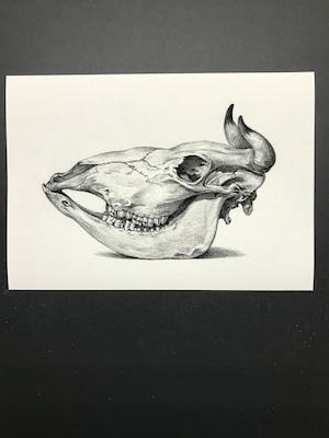 Skull of a cow by Jean Bernard レプリカ 横