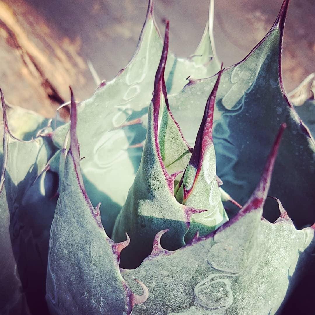 アガベ パラサナ グローブ agave parrasana globe 【発根済】