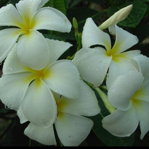 プルメリア Singapore White cv Florida 5号スリット鉢【一点モノ・現物販売】①