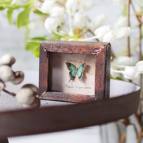 蝶のミニチュア標本箱_ヘリボシアオネアゲハ【胡蝶の夢】