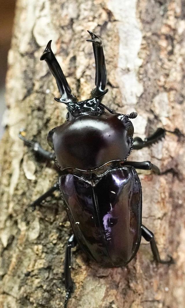 菌糸ビン入り クワガタ幼虫 ニジイロクワガタ パープル系統 1匹