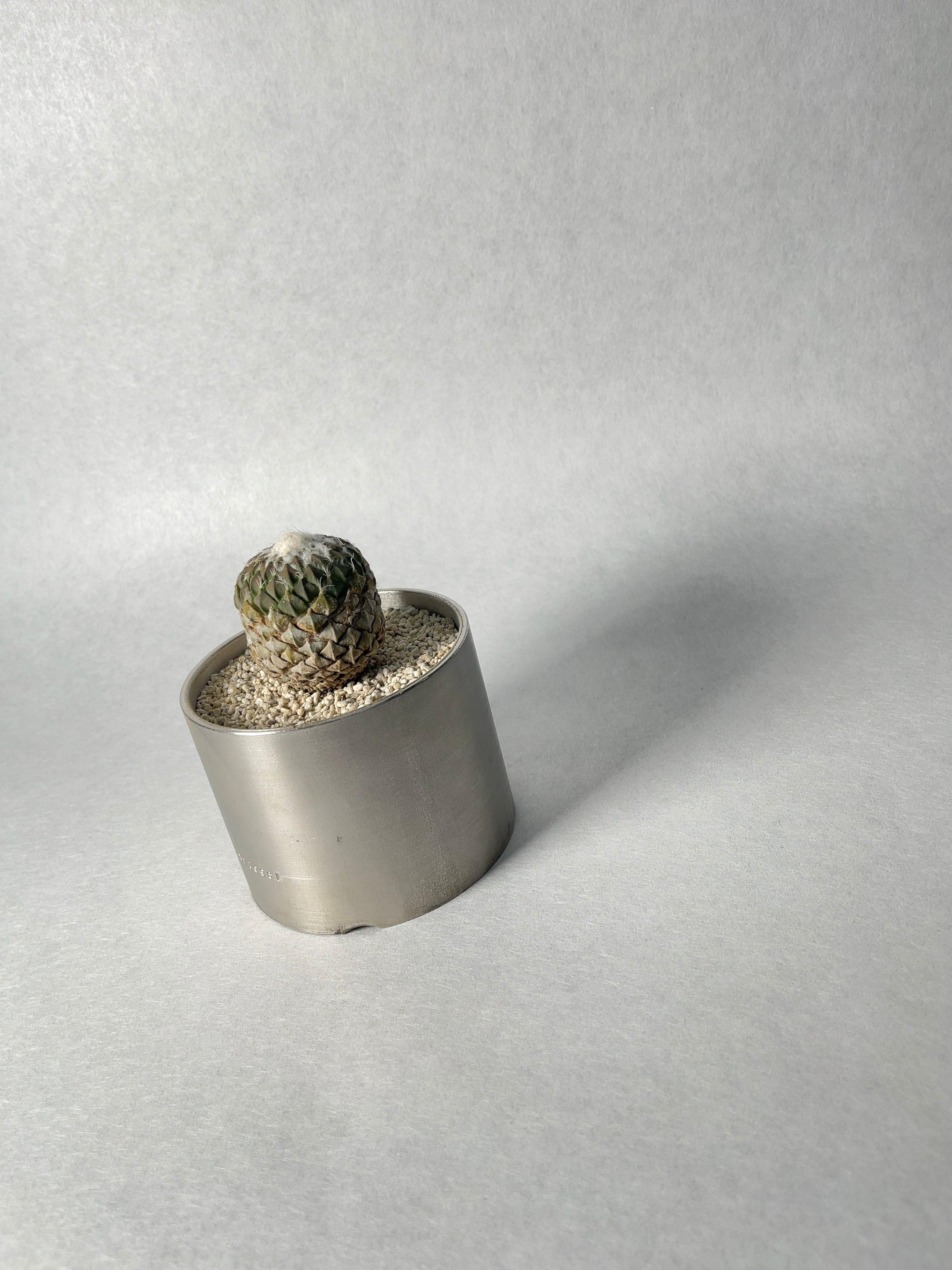 ペレキフォラ・銀牡丹