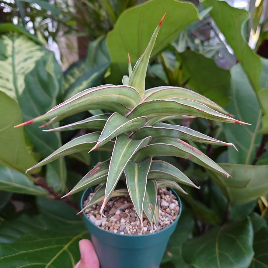 サンスベリア ラヴラノス 23251 Sansevieria Lav.23251斑入り 3