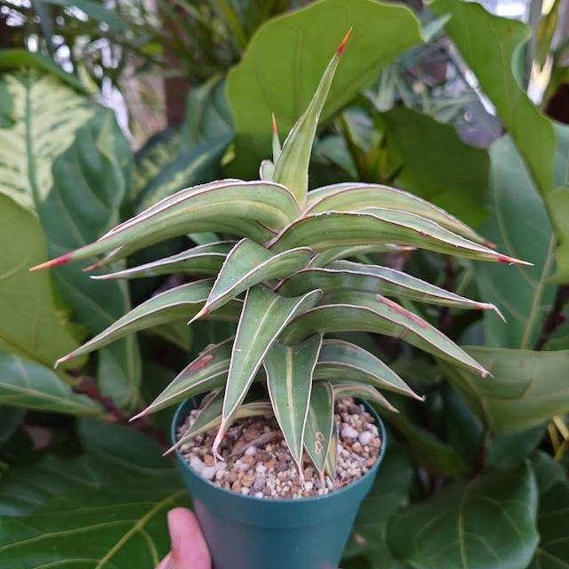 サンスベリア ラヴラノス 23251 Sansevieria Lav.23251斑入り 2