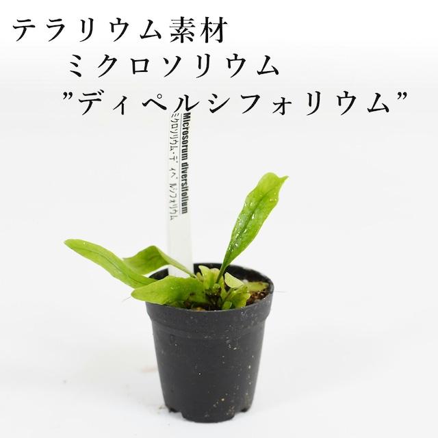 """ミクロソリウム""""ディペルシフォリウム""""(シダ植物) 苔テラリウム作製用素材"""
