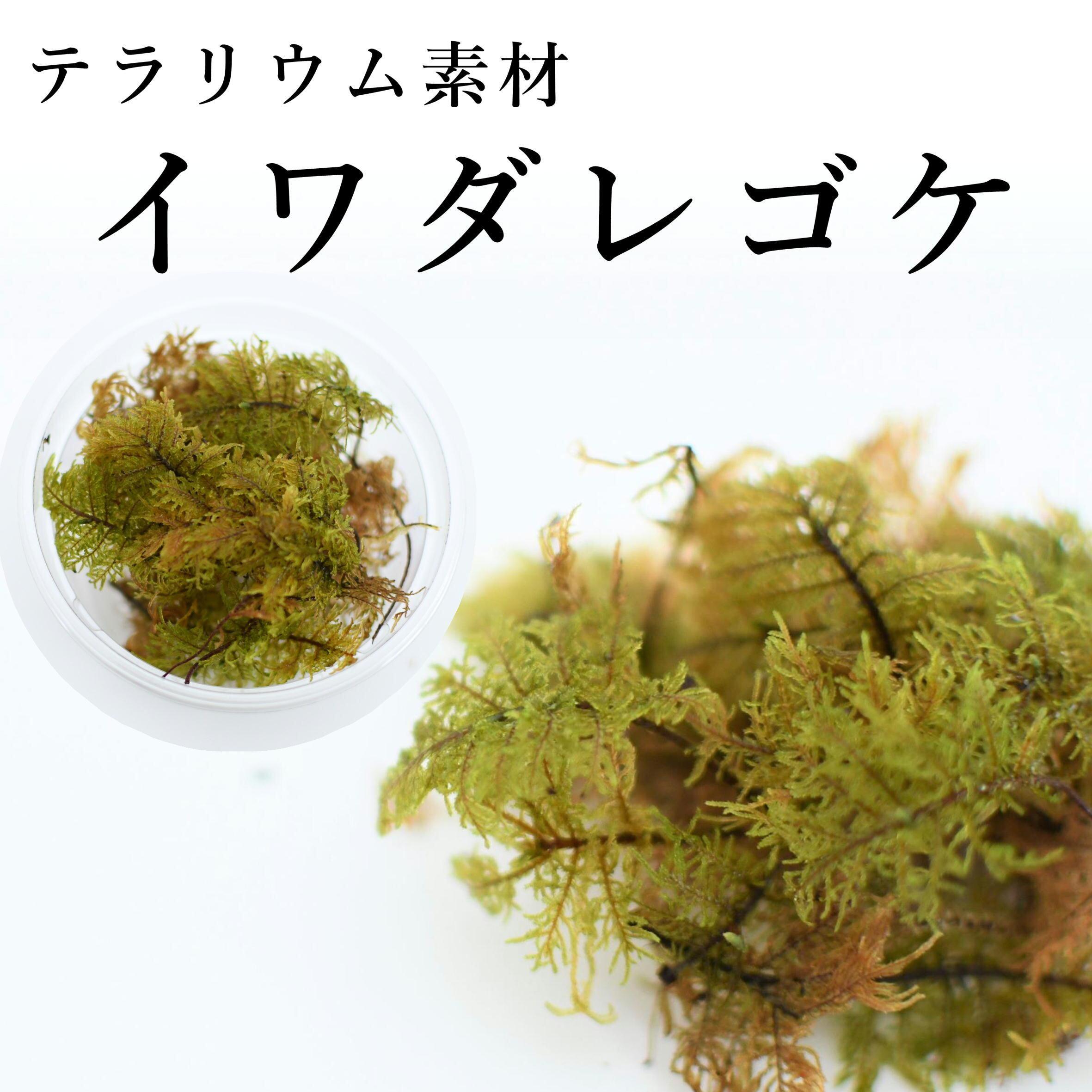 イワダレゴケ 苔テラリウム作製用素材苔