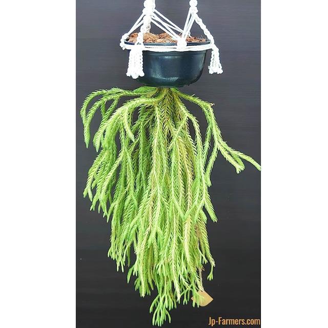 特大 リコポディウム フペルジア カリナータ 観葉植物 ハンギング ハンガーセット