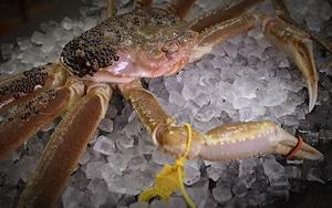活 越前蟹1.3kg~1.4kg(4人前程度、送料込)