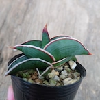 Sansevieria rorida サンスベリア ロリダ 6