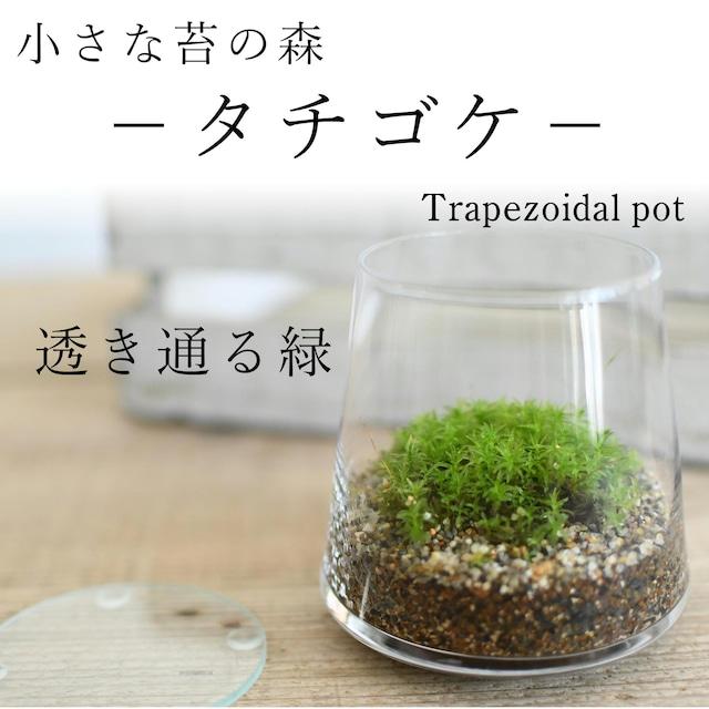 小さな苔の森−タチゴケ− 台形ポット◆透明感のある緑【苔テラリウム】