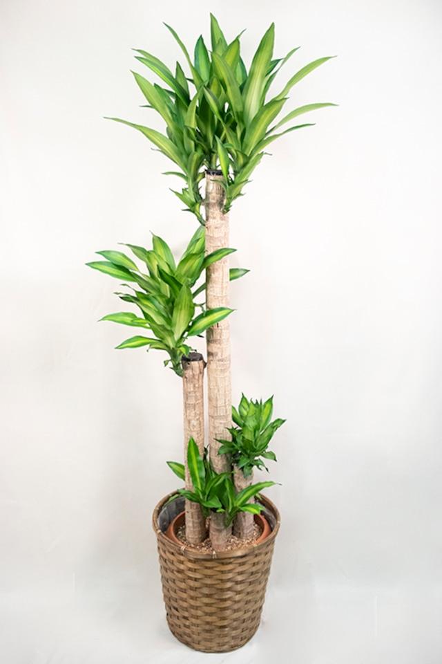 ドラセナ・マッサンゲアナ(幸福の木) 大鉢サイズ【観葉植物】