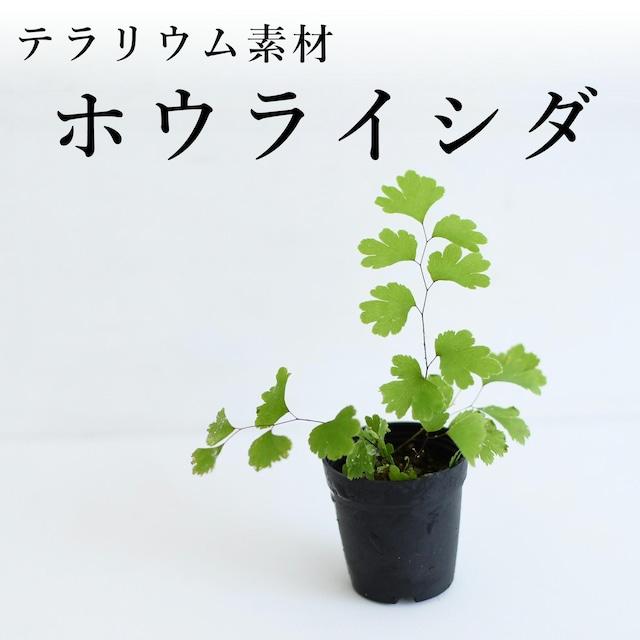 ホウライシダ(シダ植物) 苔テラリウム作製用素材