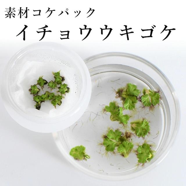 イチョウウキゴケ 苔テラリウム作製用素材苔 ◆8芽入り