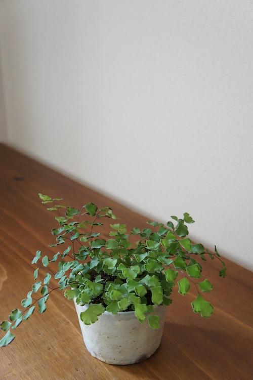 盆栽 ホウライシダ