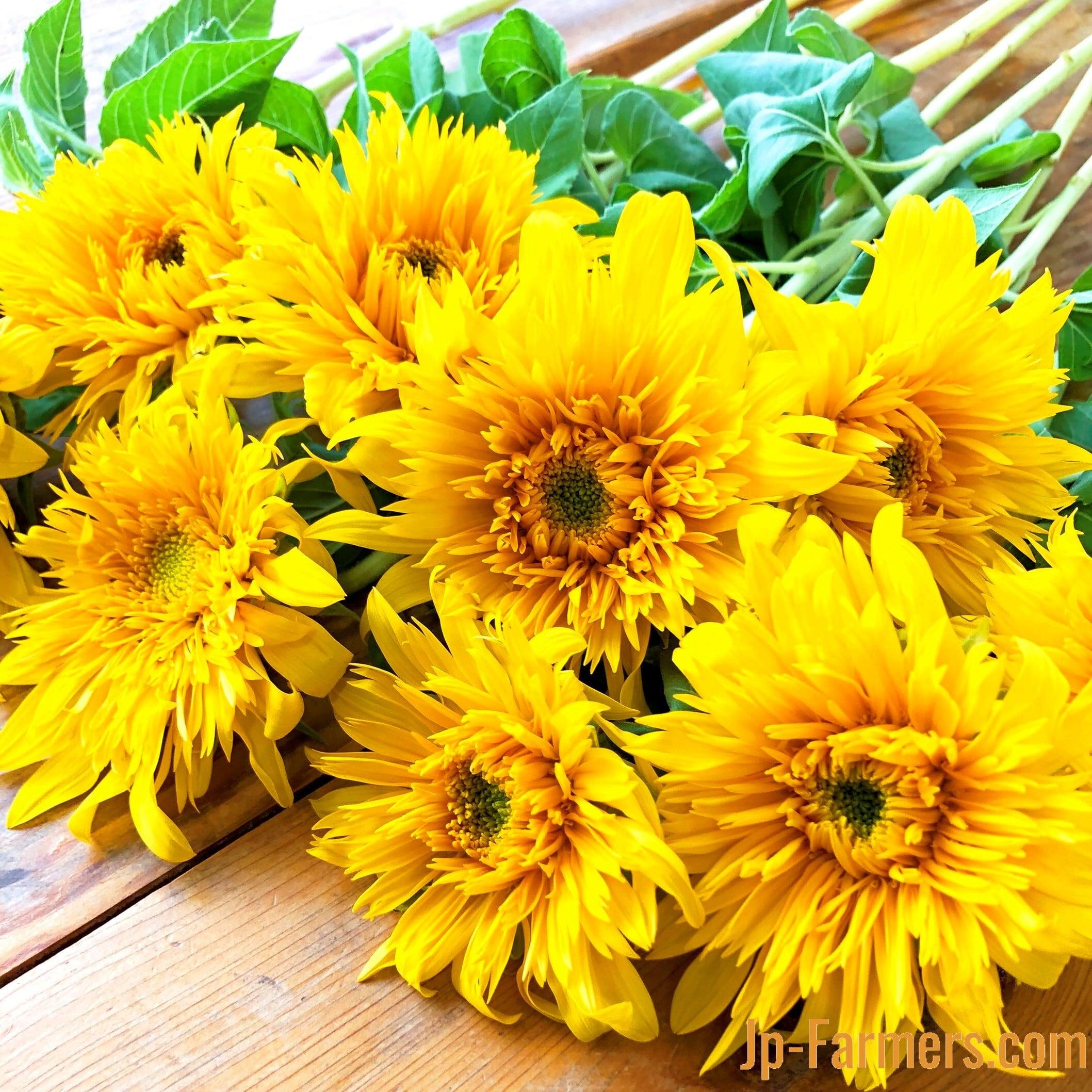 絵画の様な秋らしい八重品種のひまわりで元気をチャージしよう!! 北海道産 東北八重 20本