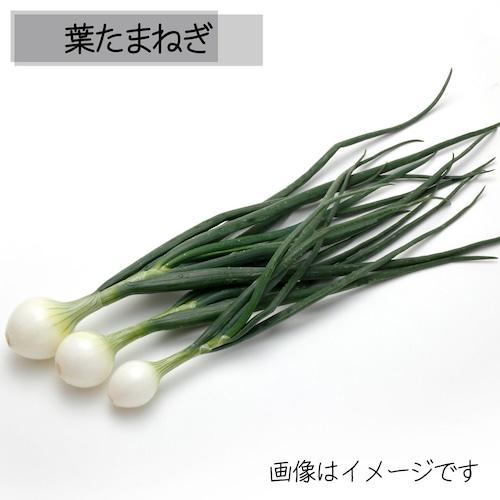 5月の朝採り直売野菜 葉たまねぎ 5月11日発送予定